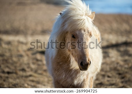 Close up view of an Icelandic pony (horse) grazing in the grass fields on the southern cost of Iceland in the winter.  - stock photo