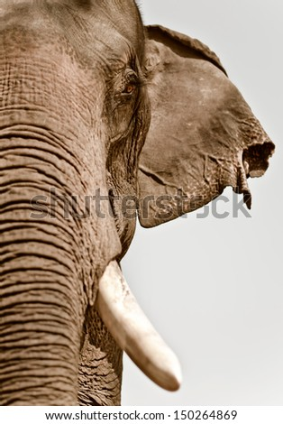 Close up view of asian elephant head,selective focus. - stock photo