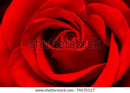 Close-up view of beatiful dark red rose - stock photo