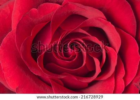 Close-up view of beatiful dark red rose background - stock photo