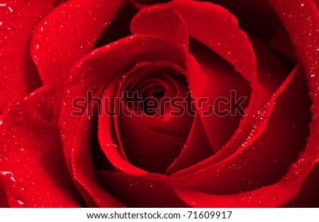 Close-up view of beatiful dark red rose with water drop