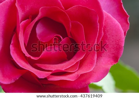 Close-up view of beatiful red rose,Love concept - stock photo