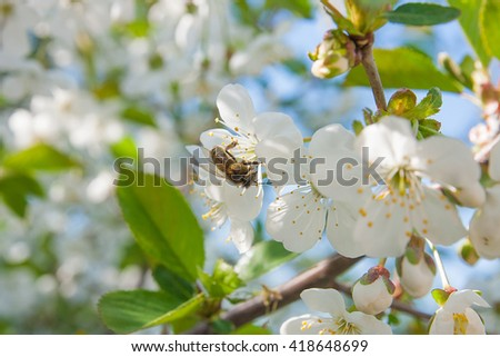 Close up view of bee collects nectar and pollen on a white blossoming cherry tree branch. White flowers of the cherry blossoms on a spring day in the garden. Hard work on a sunny spring day.  - stock photo