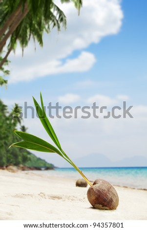 close up view of big coconut  sprout on the beach - stock photo