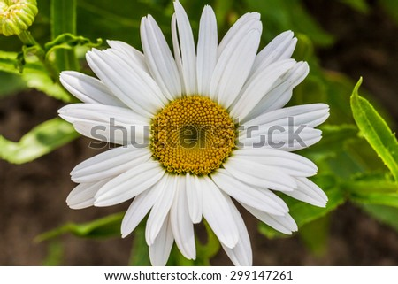 Close-up view of blooming white chamomile flower in the garden - stock photo