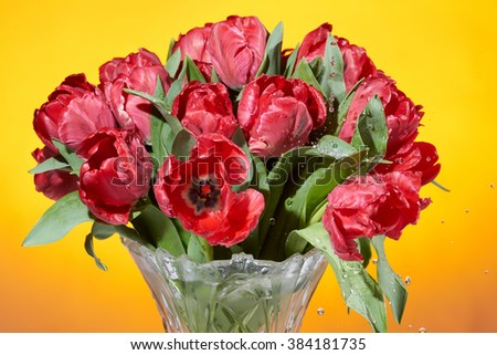 Close up view of bouquet of red fresh spring tulip flowers with water splashes in vase on orange background.