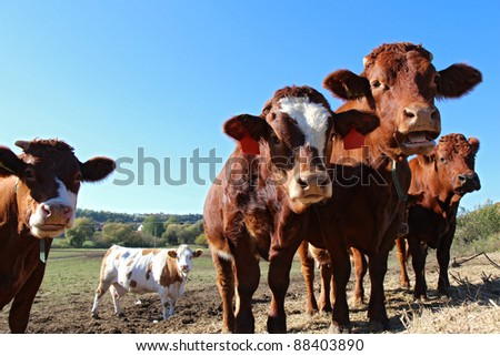 close up view of brown cows on the field - stock photo