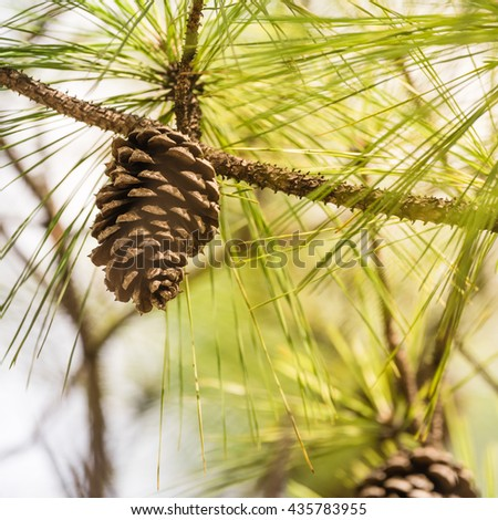 Close-up view of cedar pine cone on the tree, the most common type of coniferous tree in the world. Pinecone on the tree with warm light and shallow dof, bokeh background. - stock photo