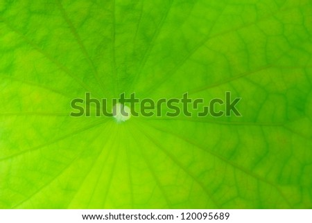 close up view of core lotus leaf - stock photo