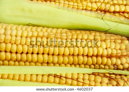 close-up view of corn cobs