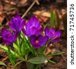 close up view of crocus on the nature background - stock photo