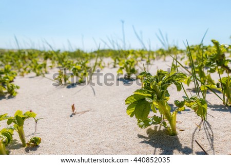 Close-up view of dog-rose plants on the sandy beach - stock photo