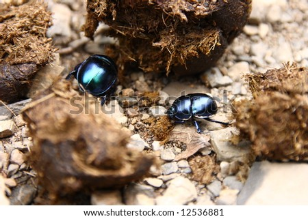 Close-up view of dung beetles working