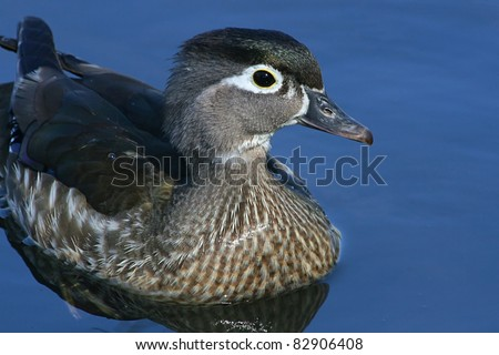 Close Up View Of Female Wood Duck In Clear Calm Blue Water. - stock photo