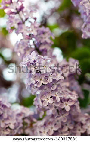 Close up view of flowering lilac with a shallow depth of field - stock photo