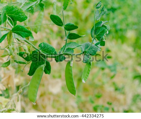 Close up view of fresh green pea on plant growing on the organic farm in Washington state, US. Food concept and agriculture background.