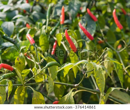 Close-up view of fresh ripe red chili peppers on tree at an organic chili farm in Thai Binh, Viet Nam. Agricultural composition. Harvest concept. Great for organic food publication.