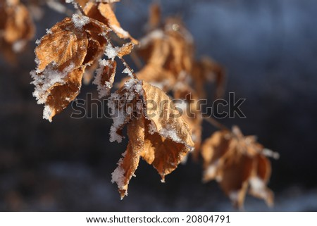 Close up view of frosted brown leaves on tree branch