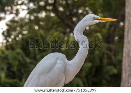 Close Up View of Great Egret Neck
