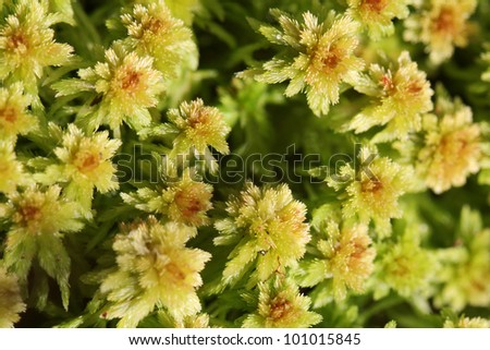 Close up view of green Sphagnum moss, suitable for backgrounds. - stock photo