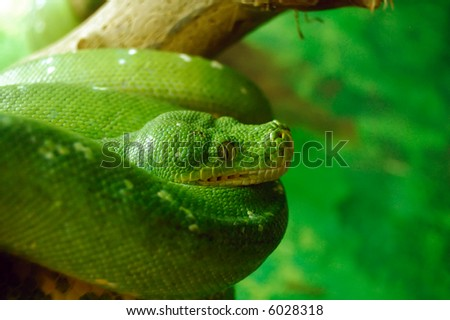 Close up view of Green Tree Python