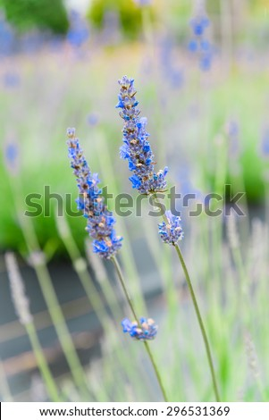 Close-up view of lavender growing in the field at Sequim, Washington, US. Lavender is a beautiful herbal medicineflower. Shallow and selective focuswith blur background of lavender.