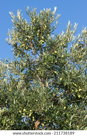 Close up view of Olives growing on an Olive Tree - stock photo
