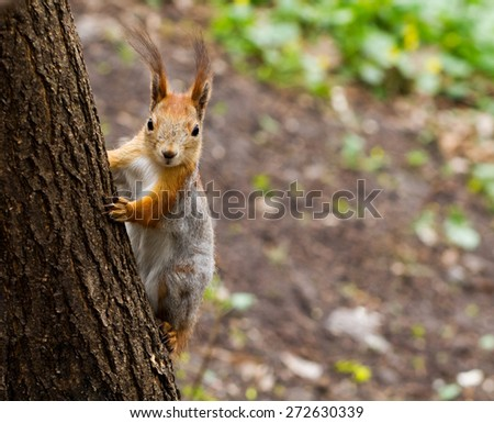 Close-up view of red squirrel on the tree in the forest - stock photo