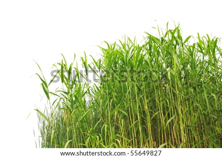 Close-up view of reed along the water's edge - stock photo