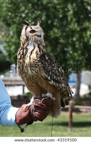 Close up view of rock eagle-owl on a trainer's glove. - stock photo