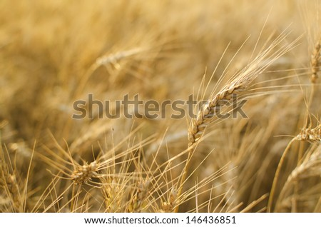 Close up view of spike of wheat on wheat field background