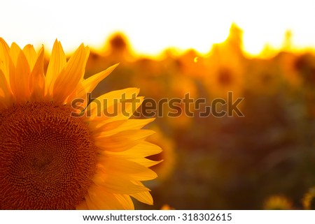 close up view of sunflower flowers at the evening field  - stock photo