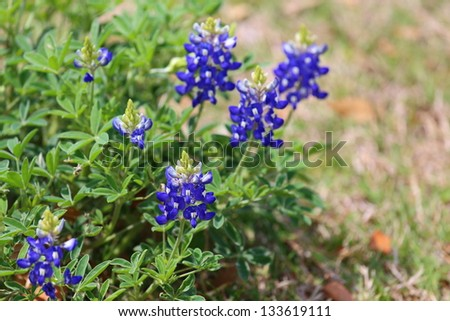 Close up view of Texas bluebonnets, Lupinus texensis - stock photo