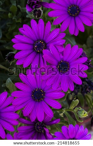 Close up view of the beautiful Osteospermum violet daisy flowers. - stock photo