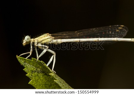 Close up view of the beautiful White Featherleg (Platycnemis latipes) damselfly insect.
