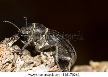Close up view of the big black beetle (Pimelia costata).