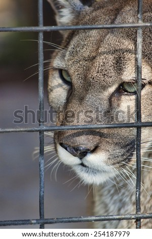 Close up view of the face of a Florida Panther staring into the distance. Shot against a slightly mottled green background. - stock photo
