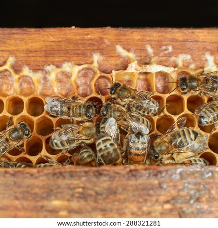 Close up view of the honey bees on honeycomb  - stock photo