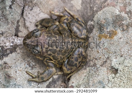 Close up view of the  Iberian spadefoot toad (Pelobates cultripes) in nature. - stock photo