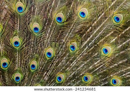 Close up view of the peacock bird showing off his beautiful feathers. - stock photo