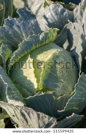Close up view of the Portuguese green cabbage on the farm.