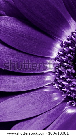close up view of the purple daisy - stock photo