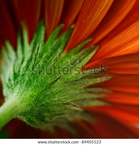 close up view of the red daisy. Square shot. - stock photo
