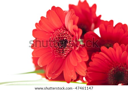 close up view of the red flower daisy - stock photo