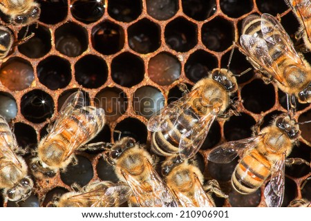 Close up view of the working bee on honeycomb