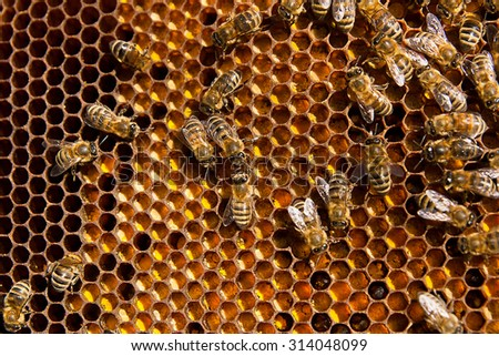 Close up view of the working bees on honeycomb. The collected pollen is placed in the honeycomb by the bees. Pollen is a food for young bees. Pollen used in alternative medicine.