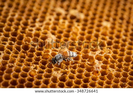 Close up view of the working bees on the honeycomb with sweet honey. - stock photo