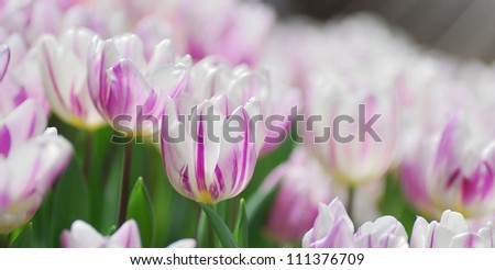 Close up view of tulip in the garden with shallow depth of focus. - stock photo