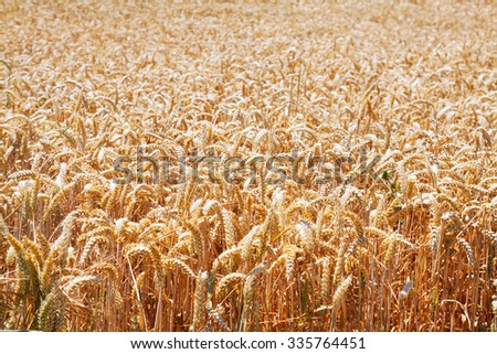 close-up view of wheat field in sunny day