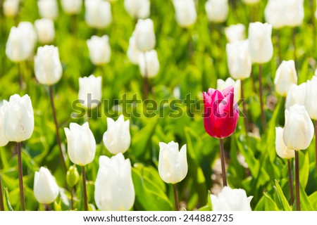 Close-up view of white and one red tulip in summer - stock photo